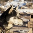 Sled Dog With White Eyes — Stock Photo