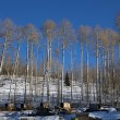 Stock Photo: Aspens At Sled Dog Kennel