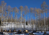 Aspens At Sled Dog Kennel — Stock Photo