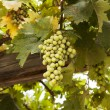 Grapes In Galilee — Stock Photo