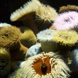 Colorful Sea Anemones - Stock Photo