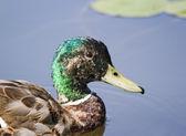 Kachna divoká se zelenou hlavou — Stock fotografie