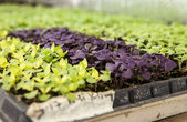 Trays Of Baby Lettuce Plants — Stock Photo