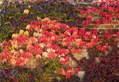 Autumn Color With Ivy On Wall — Stock Photo
