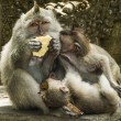 Family Of Long-Tailed Macaques — Stock Photo