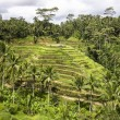 Bali Rice Paddies In Terraces — Foto de Stock