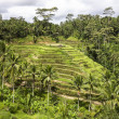 Bali Rice Paddies In Terraces — Stock Photo
