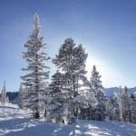 Trees On Ski Slopes With Sun — Stockfoto