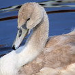 Young Mute Swan — Stock Photo