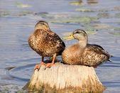 Os patos falantes — Foto Stock