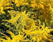 Golden Rod - Also A Medicinal Plant — Stock Photo