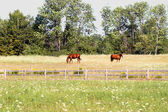 Country Life - Beautiful Horses At Pasture — Stock Photo