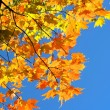 Autumn Leaves - Maple Tree — Stock Photo