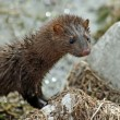 Mink — Stock Photo #13424392