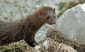 The Mink — Stock Photo