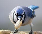 голубая сойка — Стоковое фото