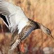 Mallard Duck Landing — Stock Photo