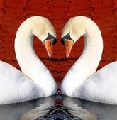 Swan Love — Stock Photo