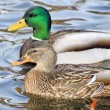 Breeding Pair Of Mallard Ducks — Stock Photo