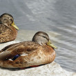 Mallard Ducks — Stock Photo