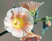 Hollyhock Flower — Stock Photo