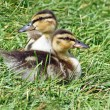 Baby Ducks — Stock Photo