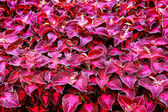 Coleus — Stock Photo