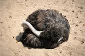 Ostriches farm — Stock Photo