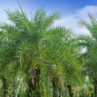 Royalty-Free Stock Photo: Palm oil tree
