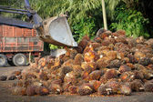 Uploading Palm Oil fruits — Stock Photo