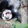Giant Panda — Stock Photo #20454657
