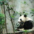 Giant Panda — Stock Photo #20454659
