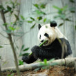 Giant Panda — Stock Photo #20454663