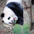 Giant Panda — Stock Photo #20454671