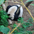 Giant Panda — Stock Photo #30743479