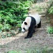 Giant Panda — Stock Photo #30743493