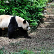 Giant Panda — Stock Photo #30743511