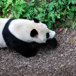 Giant Panda — Stock Photo #30743517