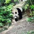 giant panda — Stock Photo