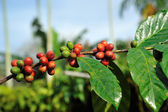 Coffee beans on plant — Stock Photo