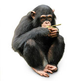 Cute chimpanzee — Stock Photo