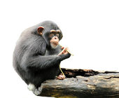 Cute chimpanzee — Stockfoto