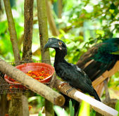 Black Hornbill (Anthracoceros malayanus) — Stock Photo