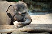 Asian Elephant i — Stock Photo