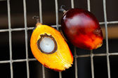 Fresh oil palm fruits — Stock Photo