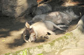 Sleeping Desert Warthog (Phacochoerus aethiopicus) — Stock Photo