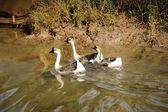 Three domestic goose — Stock Photo