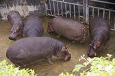 Hippopotamus at the Zoo of Taipei. — Stock Photo