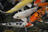 Koi Carp, symbols of good luck and prosperity — Stock Photo