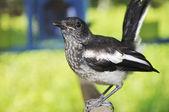 Magpie Talking — Stock Photo